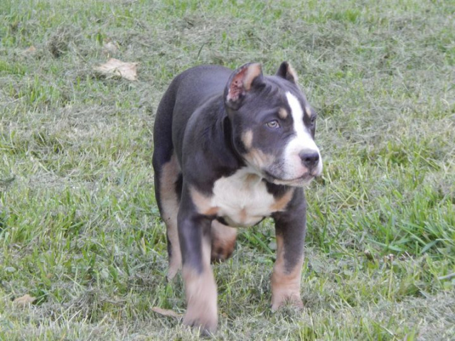 Colby Pitbull Kennels